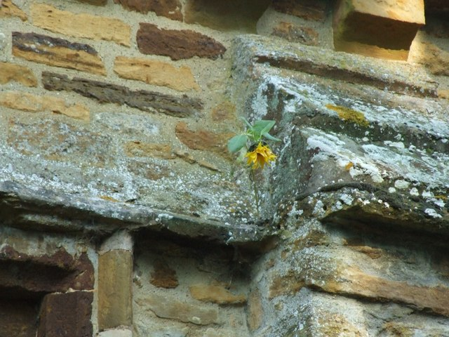 Sunflower on the wall of St Nicholas' church