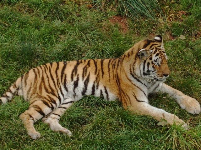 Tiger at South Lakes Wild Animal Park