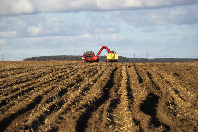 Potato Harvesting near Northwold Farm