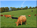 SU7798 : Cattle, Chinnor by Andrew Smith