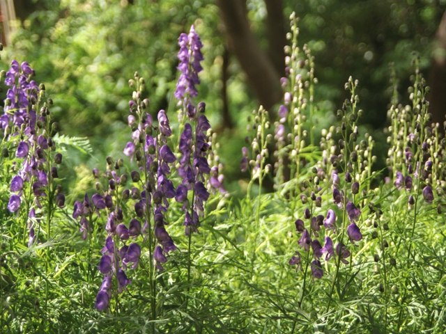 Monk's-hood (an Aconitum species)