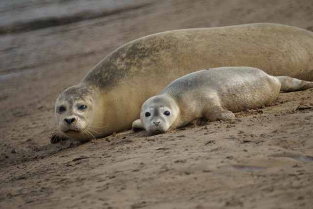 Seals and pup between Titchwell and Brancaster