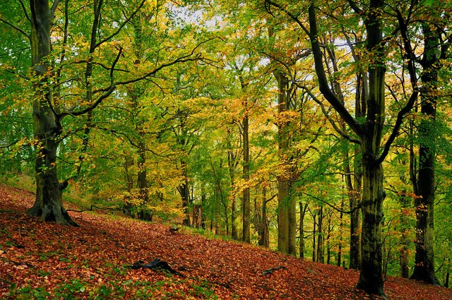 The Beech Woods