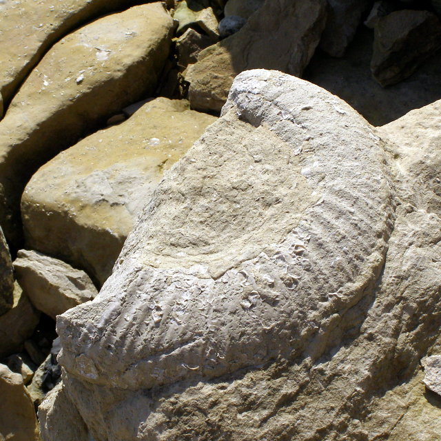 Large ammonite fossil, Southwell Landslip