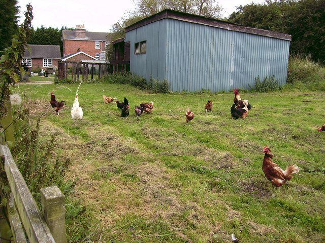 The clucking order