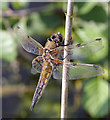 TL3369 : Four-spotted Chaser (Libellula quadrimaculata) by Hugh Venables