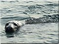 NK1342 : Seal at Boddam Harbour : Week 44