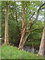 SE0335 : Riverside Tree by John Poyser