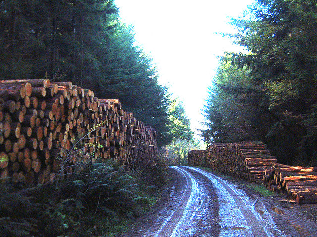 Softwood log piles in Chepstow Park Wood