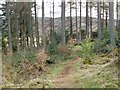 NS3985 : Loop walk (return leg) - through the woods by Lairich Rig