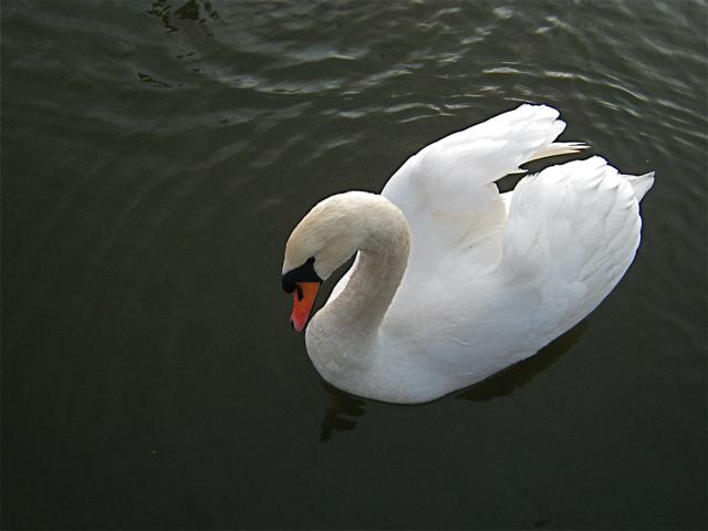 Newburgh: Mute Swan