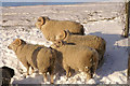 HP6514 : Shetland rams, Norwick : Week 47