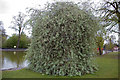SP0683 : Willow-leaved pear by Phil Champion