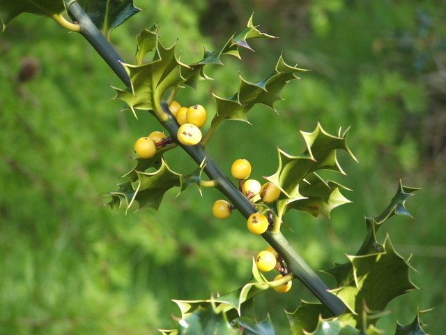 Holly with yellow berries