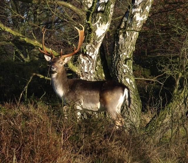 Stag at Brocton, Cannock Chase