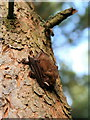 NT6069 : Pipistrelle bat (?), Langlands Plantation : Week 52