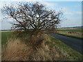 TL1774 : Stumpy Oak Near Alconbury by Michael Trolove
