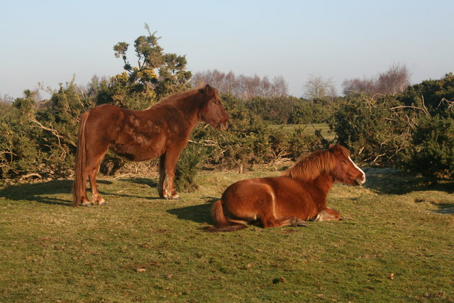 New Forest Ponies, Rockford Common, New Forest