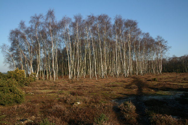 Silver Birches, Rockford Common, New Forest