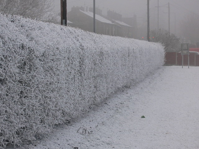 Frozen Hedgerow