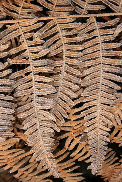 Frosted bracken in Closedown Wood