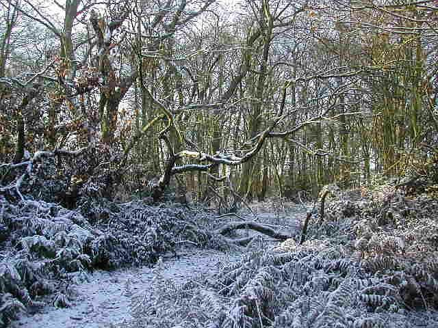Jones's Wood in winter