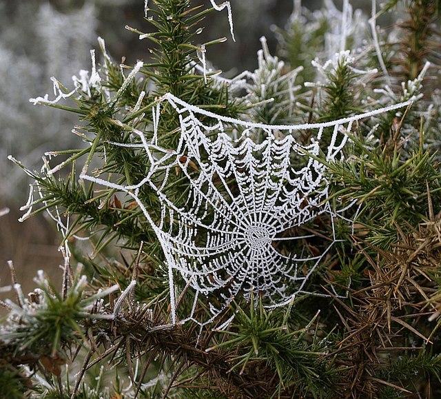 Spider's web on gorse (2)