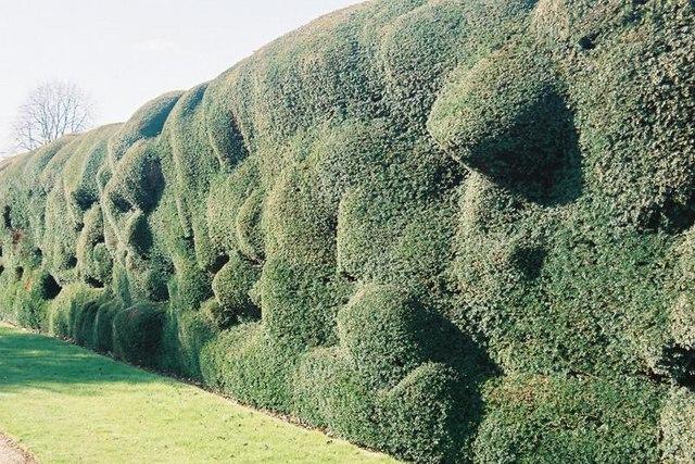 Montacute: haphazard hedging