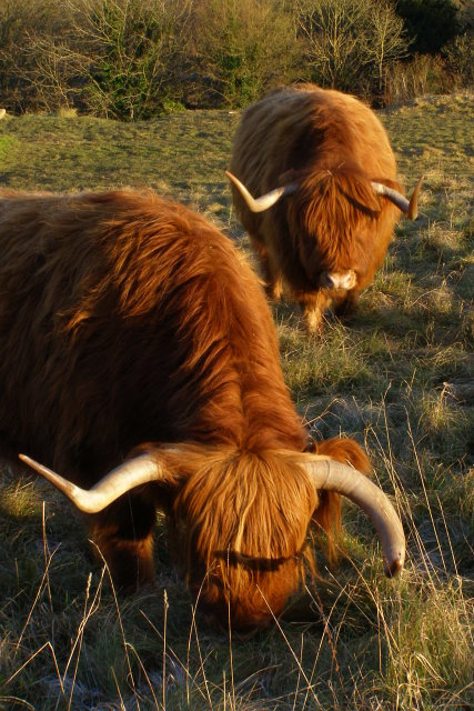Highland cattle grazing Shawford Down