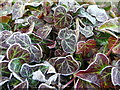 SO5616 : Frosted ivy leaves : Week 2