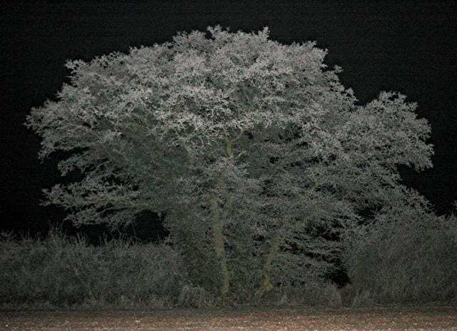 Hedgerow tree at night