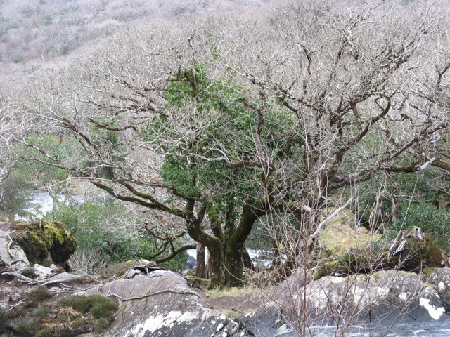 Wintry tree near Galway's Bridge