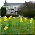 SX0859 : Daffodils and cottage at No Man's Land by Jonathan Billinger