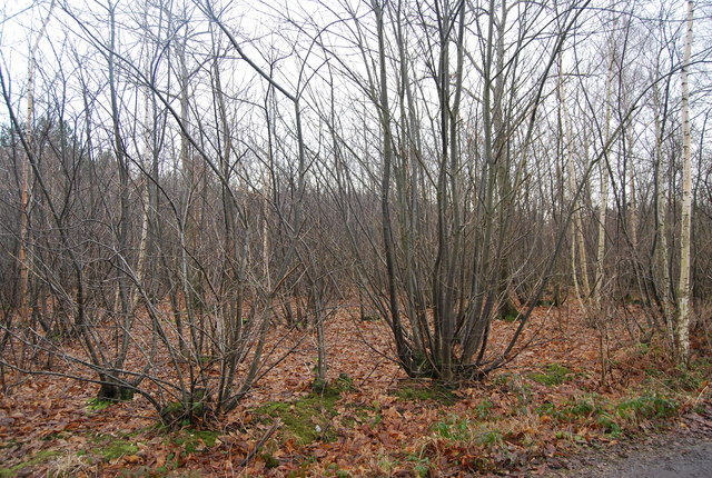 Coppiced trees, Church Wood