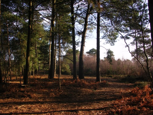 Wooded area of Ferndown Common