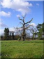 TM2250 : Ancient tree Grundisburgh Hall Park by Chris Holifield