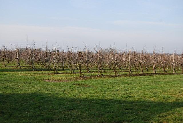 Apple Orchards Near Broad Oak N Chadwick Geograph