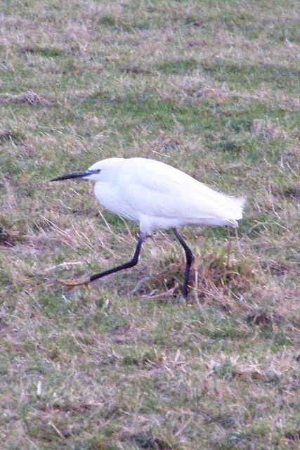 Little Egret at Rodmell