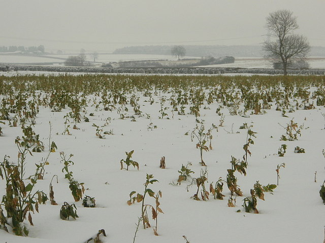 Charlock gets an icy blast, Great Gidding