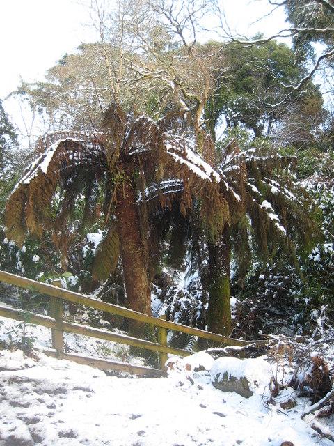 Dicksonia Antarctica Fern Dicksonia Antarctica Tree