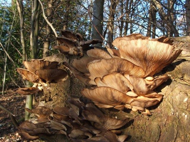 Branching Oyster Mushroom (Pleurotus cornucopiae)