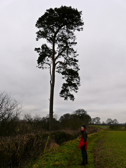 Lonesome Pine on Cowley Hill