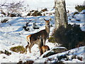 NH3439 : Red deer hinds, Glen Strathfarrar : Week 6