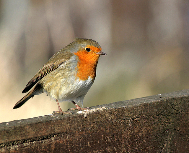 A robin on a garden fence