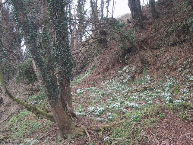 Snowdrops at the edge of the floodplain on the site of the old mill at Dotton