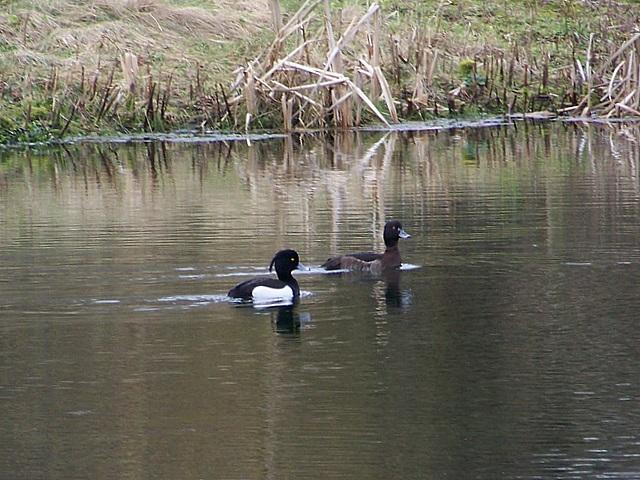 Tufted duck, Bishopstone
