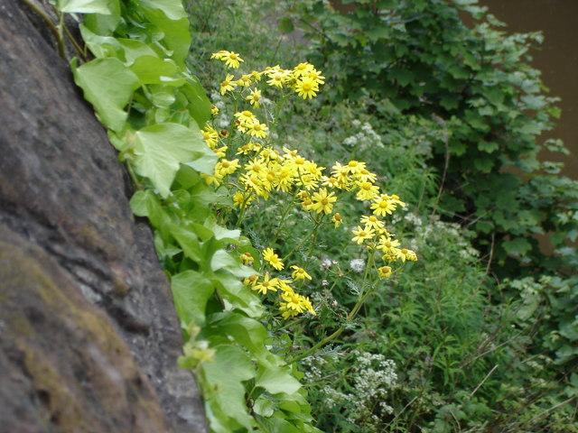 Oxford Ragwort - Senecio squalidus - growing on the City Wall
