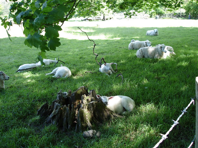 Sheep not far from Grasmere Village centre