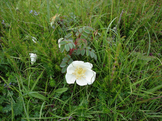 Burnet Rose - Rosa pimpinellifolia