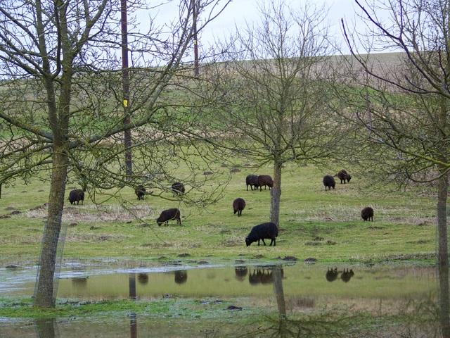 Black sheep, Farnham
